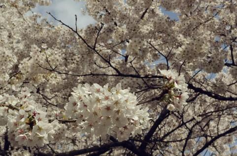 キレイな桜イメージ